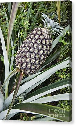 Immature Pineapple Canvas Print by Inga Spence