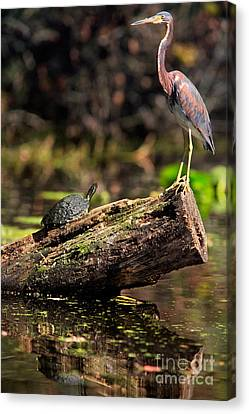 Immature Tri-colored Heron And Peninsula Cooter Turtle Canvas Print by Matt Suess