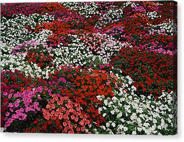 Impatiens Canvas Print by Panoramic Images
