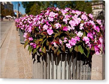 Impatiens Walleriana Blooming Plants Canvas Print by Arletta Cwalina