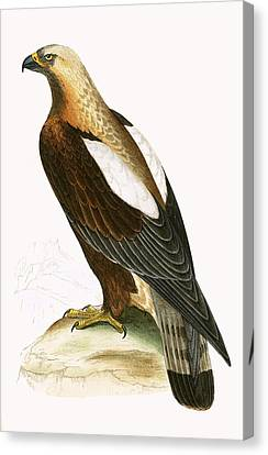 Imperial Eagle Canvas Print by English School