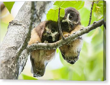 Impossibly Cute Owl Fledglings Canvas Print by Tim Grams