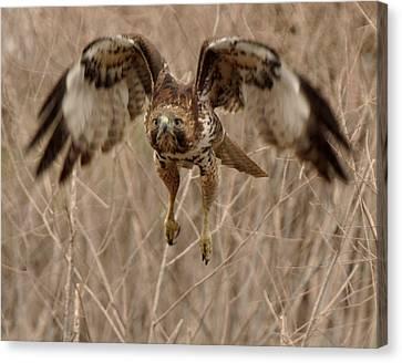 Inbound Red Tail Hawk Canvas Print by Matt MacMillan