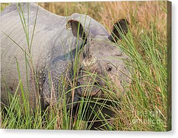 Indian Rhinoceros, India Canvas Print by B. G. Thomson