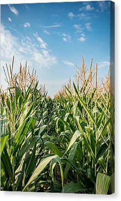 Indiana Corn Row Canvas Print by Anthony Doudt