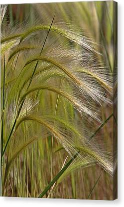 Indiangrass Swaying Softly With The Wind Canvas Print by Christine Till