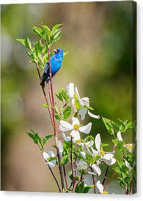 Indigo Bunting In Flowering Dogwood Canvas Print by Bill Wakeley