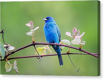 Indigo Bunting Perched Canvas Print by Bill Wakeley