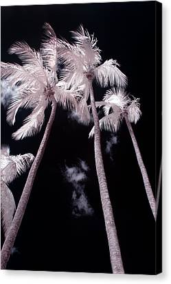Infrared Palm Trees Canvas Print by Adam Romanowicz