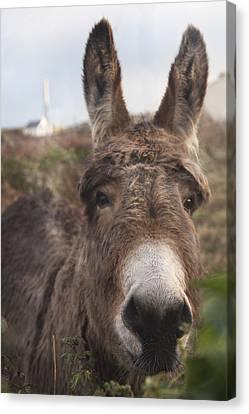 Inishmore Island Adorable Donkey Canvas Print by Betsy Knapp