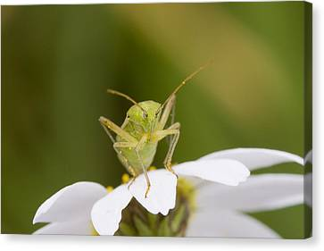 Insect Canvas Print by Andre Goncalves