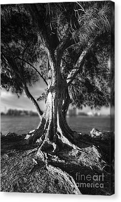 Intercoastal Pine Canvas Print by Marvin Spates