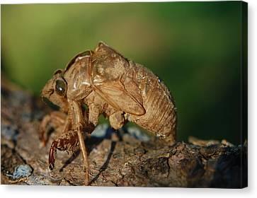 Iowa Cicada Canvas Print by Jame Hayes