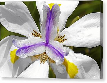 Iris An Explosion Of Friendly Colors Canvas Print by Christine Till
