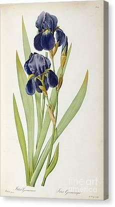 Iris Germanica Canvas Print by Pierre Joseph Redoute