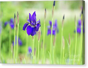 Iris Sibirica Caesars Brother Canvas Print by Tim Gainey
