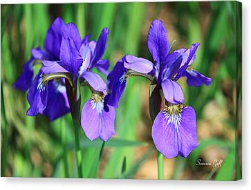 Iris Trio In Watercolor Canvas Print by Suzanne Gaff