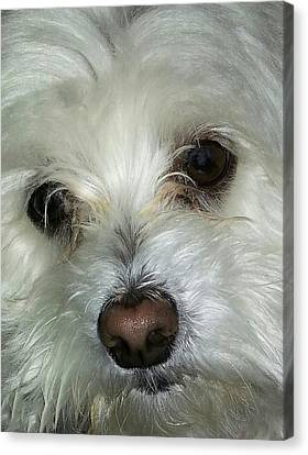 Irresistible Chloe Canvas Print by Emmy Marie Vickers