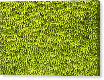 Ivy Wall Canvas Print by Andy Smy