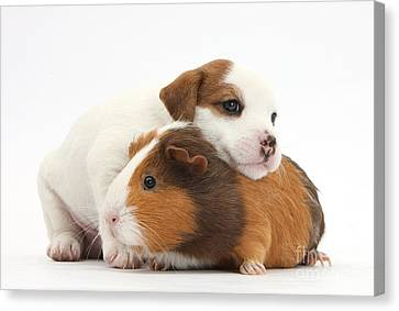 Jack Russell Terrier Puppy Guinea Pig Canvas Print by Mark Taylor