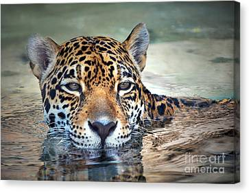 Jaguar Cooldown Canvas Print by Dan Holm