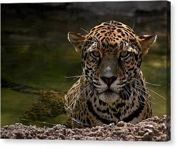 Jaguar In The Water Canvas Print by Sandy Keeton