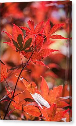Japanese Maple  Canvas Print by Racheal Christian
