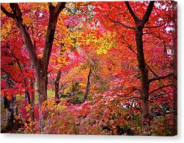 Japanese Maple Trees Canvas Print by I love Photo and Apple.