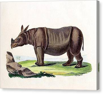 Javan Rhinoceros, Endangered Species Canvas Print by Biodiversity Heritage Library