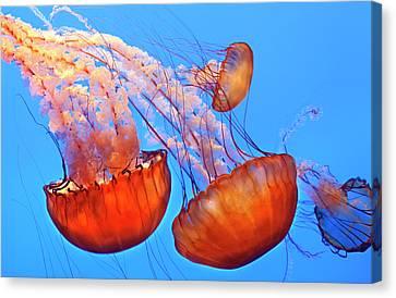 Jelly Fish Canvas Print by Jill Buschlen
