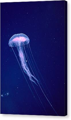 Jellyfish Canvas Print by Dave Fleetham - Printscapes