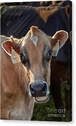 Jersey Cow Communicating Canvas Print by Inga Spence