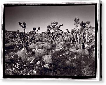 Joshua Tree Forest St George Utah Canvas Print by Steve Gadomski