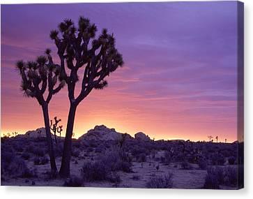 Joshua Tree Sunrise Canvas Print by Eric Foltz