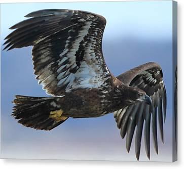 Juvenile Bald Eagle Canvas Print by Coby Cooper