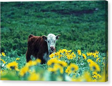 Juvenile White-faced Hereford Canvas Print by Paul Nicklen