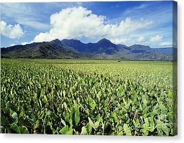 Kauai, Wet Taro Farm Canvas Print by Bob Abraham - Printscapes