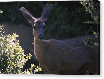 Keen Senses - Mule Deer Canvas Print by Soli Deo Gloria Wilderness And Wildlife Photography