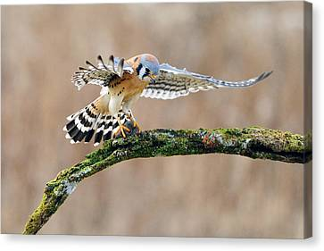 Kestrel Falcon Hunting On The Wing Canvas Print by Scott  Linstead