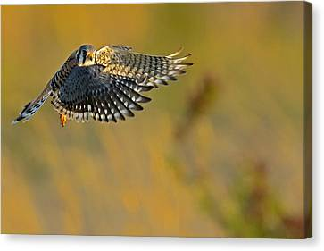 Kestrel Takes Flight Canvas Print by William Jobes