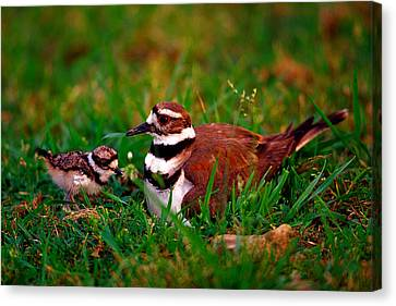 Killdeer And Young Canvas Print by Denny Bingaman