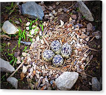Killdeer Nest Canvas Print by Cricket Hackmann
