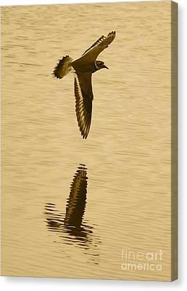 Killdeer Over The Pond Canvas Print by Carol Groenen
