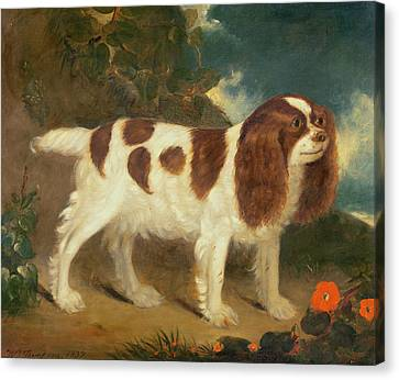 King Charles Spaniel Canvas Print by William Thompson