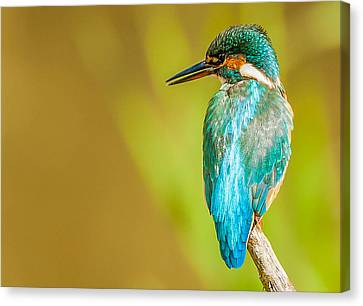 Kingfisher Canvas Print by Paul Neville