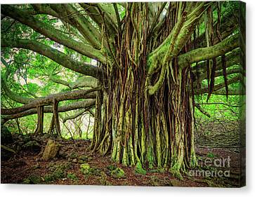 Kipahulu Banyan Tree Canvas Print by Inge Johnsson