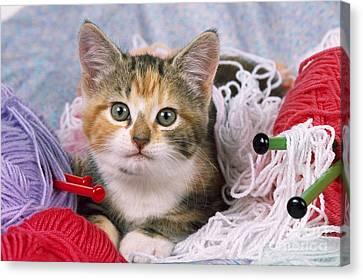 Kitten With Yarn Canvas Print by John Daniels
