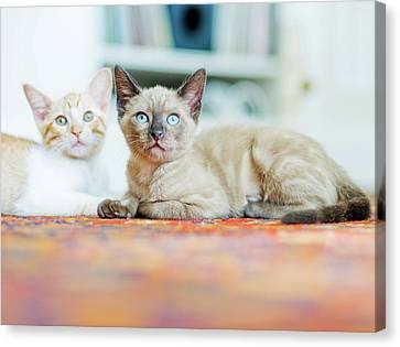 Kitties Sisters Canvas Print by Cindy Loughridge