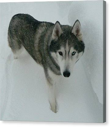 Knee Deep In Snow - Tier The Alaskan Husky Canvas Print by Emmy Marie Vickers