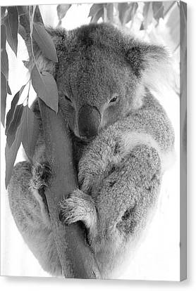 Koala Bear Canvas Print by Terry Burgess